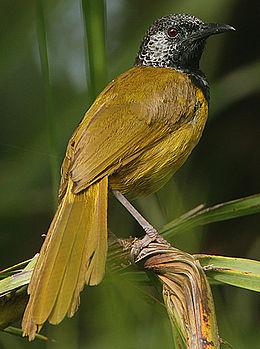 Flickr - Rainbirder - Oriole Warbler (Hypergerus atriceps) (1)