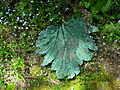 Flickr - brewbooks - Cast Gunnera Leaf - John M's Garden.jpg