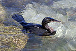 Flightless Cormorant (Phalacrocorax harrisi) -swimming2.jpg