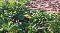 Flor besouro verde 02.jpg