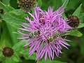 Flora, Insecta, Maciejowa, Gorce (2).jpg