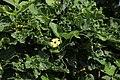 Flora from Savandurga IMG 9526.jpg