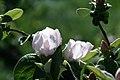 Floraison cognassier.jpg