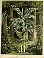 Flore des serres v15 025a.jpg