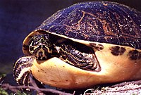 Florida Redbelly Turtle KSC00pp0306.jpg