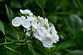 "Flower, Hydrangea ""Inukorinanagi"" - Flickr - nekonomania.jpg"