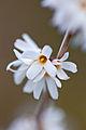 Flower, White forsythia - Flickr - nekonomania.jpg