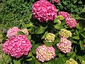 Flowers of Hydrangea macrophylla 20160603-3.jpg