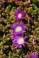 Flowers on the Lizard (8148).jpg