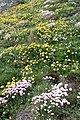 Flowers on the cliff at Cape Cornwall - geograph.org.uk - 1302380.jpg