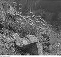Fotothek df ps 0000902 Korbblütler (Compositae, Asteraceae). Alpenaster (Aster a.jpg