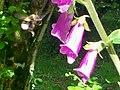 Foxglove and Bee, Old School Garden, Llanteg - geograph.org.uk - 1363541.jpg