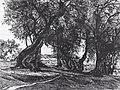 François Maréchal - Regresso (les oliviers) (1904).jpg