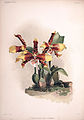 Frederick Sander - Reichenbachia II plate 60 (1890) - Odontoglossum grande.jpg