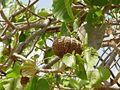 Fruto de Hura polyandra.jpg
