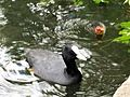 Fulica atra with chick - Orpington - 1.jpg