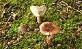 Fungus, Clandeboye Wood (6) - geograph.org.uk - 914176.jpg