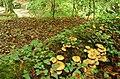Fungus, Crawfordsburn Glen (6) - geograph.org.uk - 904597.jpg