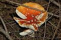 Fungus (1) - geograph.org.uk - 550608.jpg