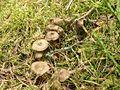 Funnel chanterelles mushrooms.jpg