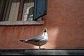 Gabbiano Veneziano - Venice, Italy - April 18, 2014 01.jpg