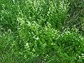 Galium.mollugo.5960.Liosi.jpg