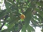 Garcinia xanthochymus (1094390023).jpg
