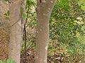Gardenia latifolia 04.JPG