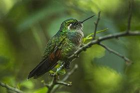 Garnet-throated Hummingbird - Mexico S4E7405.jpg