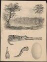 Gavialis schlegelii - met kop, poot en ei - 1700-1880 - Print - Iconographia Zoologica - Special Collections University of Amsterdam - UBA01 IZ12200097.tif