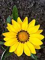 Gazania flower immaculate.jpg