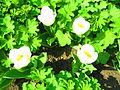 Gefüllt blühende frühe Tulpe Tulipa.JPG
