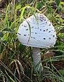Gemeiner Riesenschirmling (Macrolepiota procera).jpg
