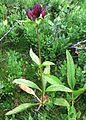 Gentiana purpurea gaustad IMG 0431.JPG