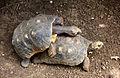 Geochelone carbonaria in Barbados Wildlife Reserve 21.jpg
