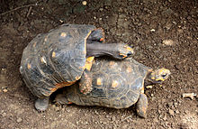 Two mating red-footed tortoises, male perched on the carapace of the female, clasping at the sides, head arched over her