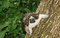 Geoffroy's Tamarin (Saguinus geoffroyi) 3.jpg