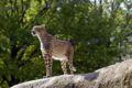Gepard-zoo-basel.jpg