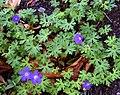 Geranium himalayense 05.jpg