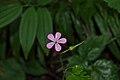 Geranium robertianum in Clearwater Wilderness, WA.jpg