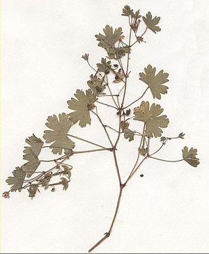 Geraniaceae - Image: Geranium rotundifolium Herbar