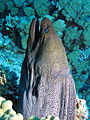 Giant Moray,Gymnothorax javanicus at Gota Kebir, St John's reefs, Red Sea, Egypt -SCUBA (6326279800).jpg