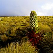 Giant lobelias can grow to 6 m (20 ft). Tussock grass grows alongside the lobelias.