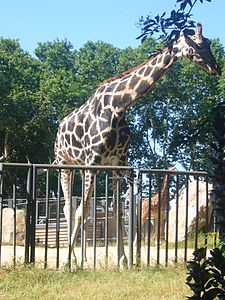 Girafa al Zoo - Barcelona.JPG