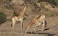 Giraffe, Giraffa camelopardalis at Mahone Loop, Punda Maria, Kruger National Park, South Africa (20632289278).jpg