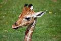 Giraffe (4630024424).jpg