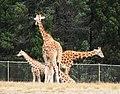 Giraffes in formation (2744197984).jpg