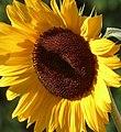 Girasol (Helianthus annuus) (14757218033).jpg