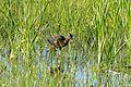 Glossy Ibis (Plegadis falcinellus) immature (26462211042).jpg