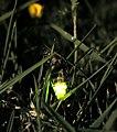 Glow worm 305654931.jpg